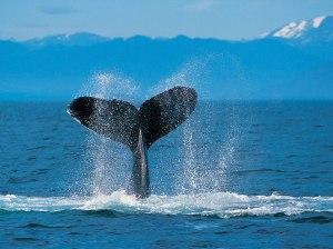 humpback-whale1